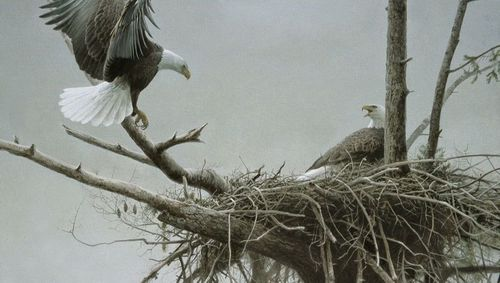 Painting of eagles by Robert Bateman